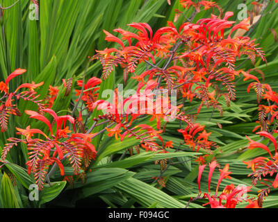 Crocosmia Lucifer in full flower growing in a border in Cheshire, UK. - Stock Photo