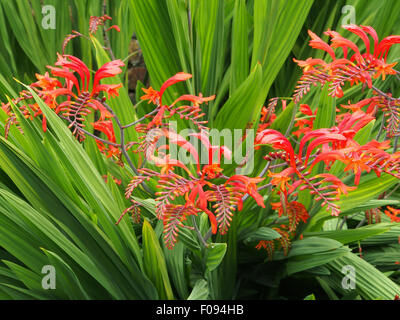 Crocosmia Lucifer in full flower in August. - Stock Photo