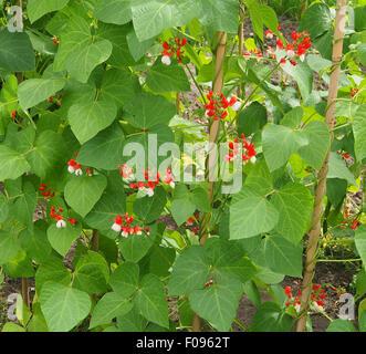 Runner bean 'Tenderstar' showing the bright orange and white flowers. - Stock Photo