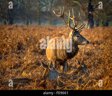 Red Deer Stag standing guard over his harem. Bracken in his antlers. - Stock Photo