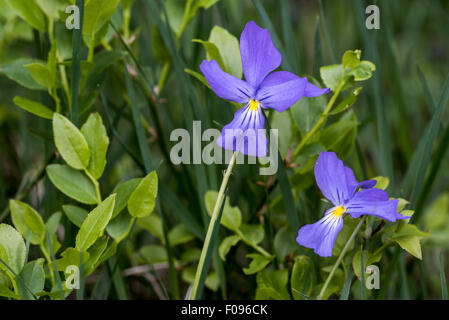 Long-spurred violet / long-spurred pansy / mountain violet (Viola calcarata) in flower in the Alps - Stock Photo