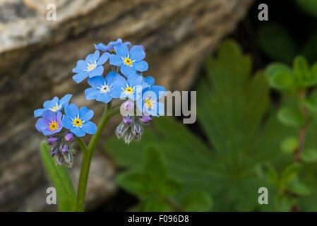 Alpine Forget-me-not (Myosotis alpestris) in flower in the Alps - Stock Photo