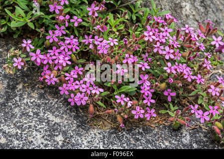 Soapwort pink / rock soapwort / tumbling Ted (Saponaria ocymoides) in flower in the Alps - Stock Photo