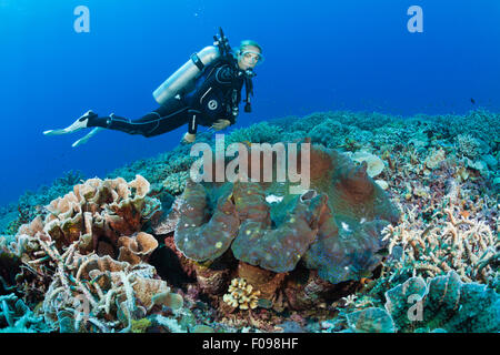 Giant Clam in Coral Reef, Tridacna squamosa, Mary Island, Solomon Islands - Stock Photo