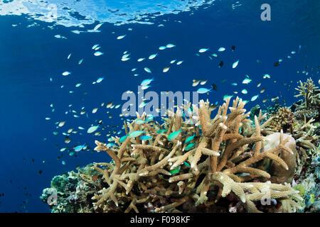 Cromis over Coral Reef, Chromis viridis, Marovo Lagoon, Solomon Islands