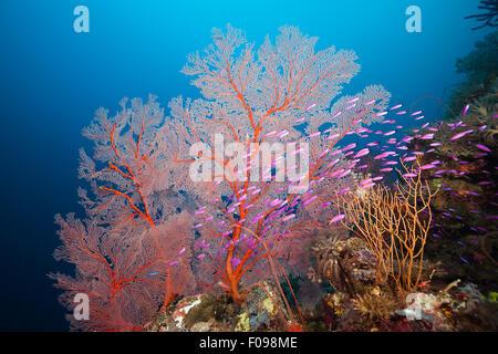 Yellowback Anthias in Coral Reef, Pseudanthias of tuka, Marovo Lagoon, Solomon Islands - Stock Photo