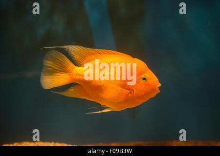 fresh water fish blood parrot cichlid - Stock Photo