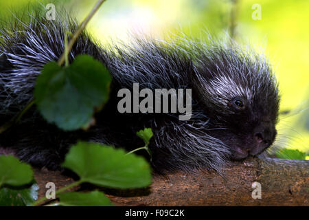 North American porcupine (Erethizon dorsatum) - Mohonk Mountain House, New Paltz, Hudson Valley, New York, USA - Stock Photo