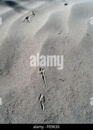 Tracks left in sand by jumping kangaroo rat, Nambung National Park, Western Australia - Stock Photo