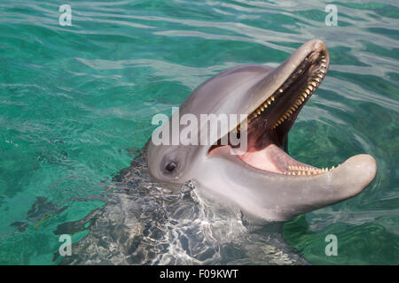 Bottlenose dolphin playing in the aqua Caribbean waters in Honduras, Roatan Island - Stock Photo