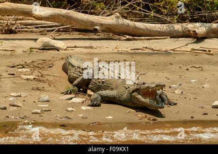 Crocodylus acutus, American Crocodile in Sumidero Canyon, Tuxtla Gutierrez, Mexico - Stock Photo