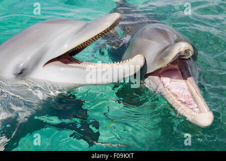 Two bottlenose dolphins playing in the aqua Caribbean waters in Honduras, Roatan Island - Stock Photo