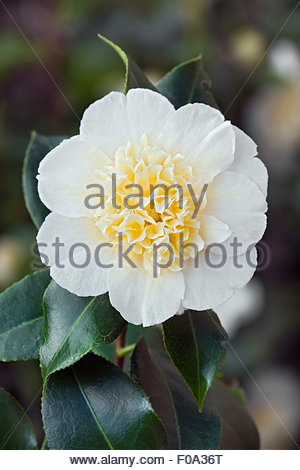 White camellia flowers closeup with yellow pistils on green tea camellia japonica brushfields yellow agm mightylinksfo