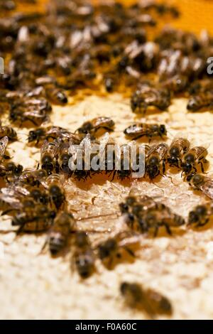 Close-up of bees on honeycomb, Kassel, Hesse, Germany - Stock Photo