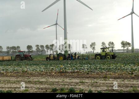 Kohlernte, Dithmarschen, Windkraftanlage - Stock Photo