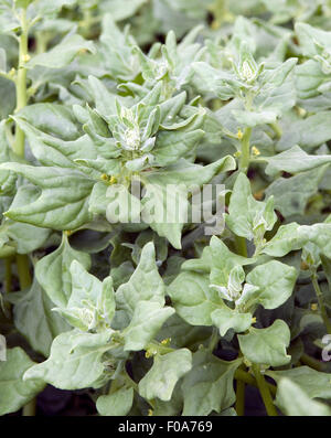 tetragonia tetragonioides new zealand spinach isolated. Black Bedroom Furniture Sets. Home Design Ideas