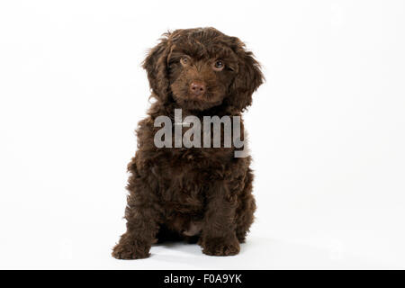 PUPPY DOG SPROODLE - Stock Photo