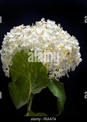 White Hydrangea Arborescens Annabelle flower on black background - Stock Photo