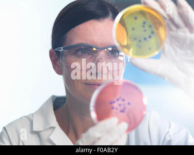 Scientist examining set of petri dishes in microbiology lab - Stock Photo