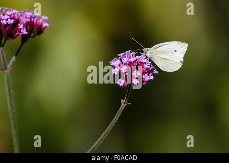 Small white or cabbage white butterfly (Pieris rapae) on Verbena flower, East Sussex garden, UK - Stock Photo