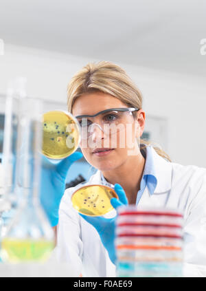 Female technician viewing agar (culture medium) plates with bacteria in a laboratory - Stock Photo