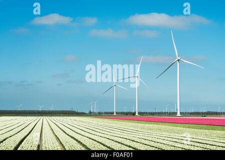 Rows of white and pink flower blooms and wind turbines, Zeewolde, Flevoland, Netherlands - Stock Photo