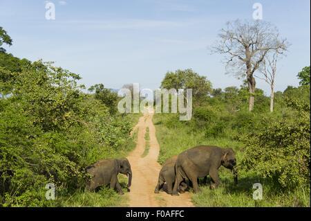 Elephant crossing dirt track in forest at Yala National Park, Sri Lanka - Stock Photo