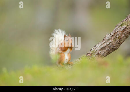 Red Squirrel eating a Hazelnut amongst a Pine Forest. - Stock Photo
