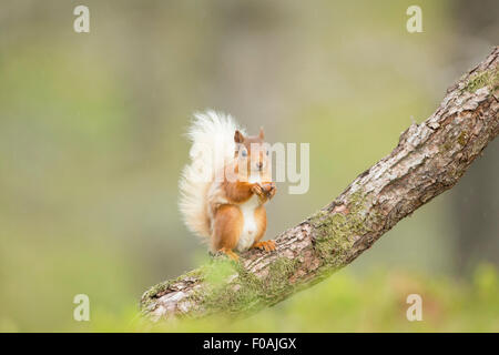 Red Squirrel Sat upright on a log tucking into a Hazelnut. - Stock Photo