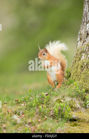 Red Squirrel waiting for his his next Hazelnut. - Stock Photo