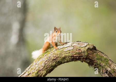 Red Squirrel sat on a log amongst a pine wood. - Stock Photo