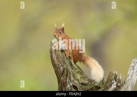 Red Squirrel on a old log. - Stock Photo