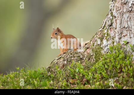 Red Squirrel sitting on a Pine Tree. - Stock Photo