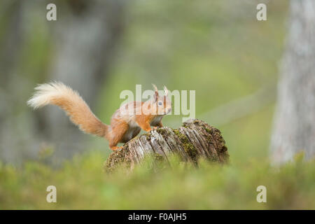 Portrait of a Red Squirrel resting on a old log in a Pine Forest. - Stock Photo