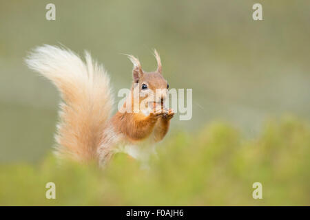 Close up of a Red Squirrel eating a Hazelnut. - Stock Photo