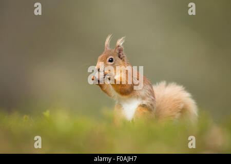 Portrait of a Red Squirrel tucking into a Hazelnut. - Stock Photo