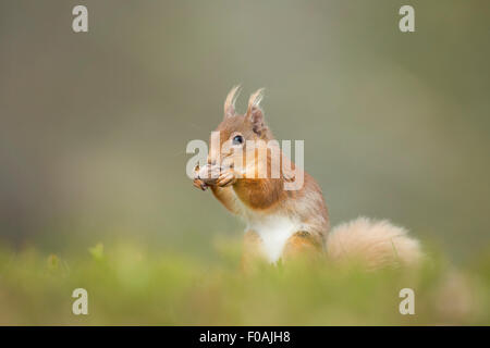 Portrait of a Red Squirrel Eating A Hazelnut. - Stock Photo