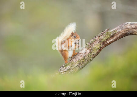 Red Squirrel taking a break from eating his hazelnut - Stock Photo