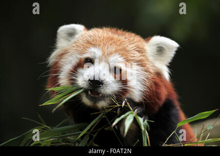 Red panda (Ailurus fulgens) eats bamboo at Chomutov Zoo in Chomutov, North Bohemia, Czech Republic.
