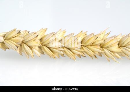 Weizen, Triticum aestivum, - Stock Photo