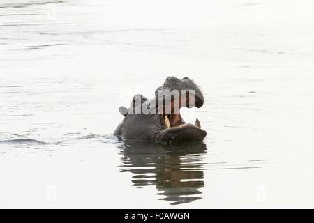 A hippo in the Kwando River, Mahango National Park, Caprivi, Namibia - Stock Photo