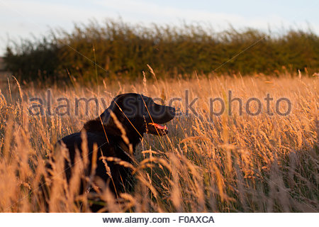 A Labrador stood in a field of tall grass looking off into the distance. - Stock Photo