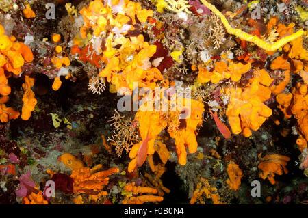 Orange sponges, Aglas oroides, and yellow sea fan, Eunicella cavolini, Orak Island Bodrum Gökova Bay Turkey - Stock Photo