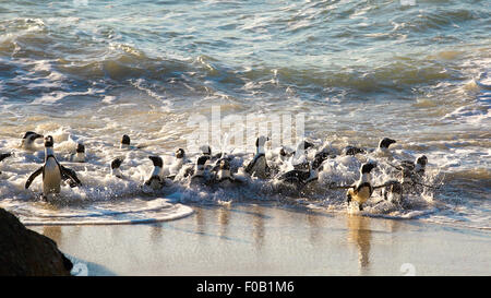 African penguins (Spheniscus demersus) swimming at Boulders Beach, Cape Town - Stock Photo