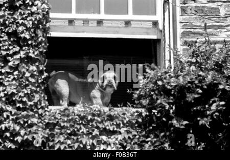 A view from below of a Bulldog on a window ledge of a house. Ivy is growing on the building. - Stock Photo