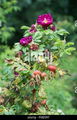 Spent Rugosa Rose. Rosa 'Hansa' flowers with rosehips - Stock Photo