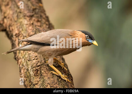 The brahminy myna or brahminy starling (Sturnia pagodarum) is a resident breeder in Nepal and India, a winter visitor - Stock Photo