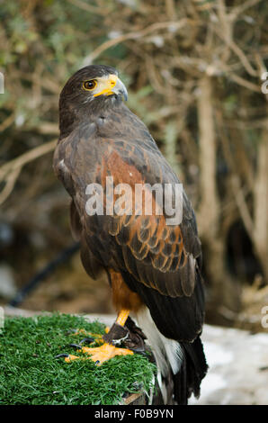 Harris' hawk, Parabuteo unicinctus at Falconry show in mountains, Benalmadena, Spain. - Stock Photo