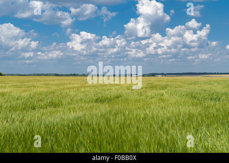 Green wheat field in countryside under cloudy sky. - Stock Photo