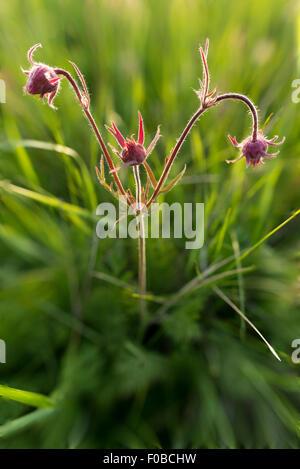 Prairie Smoke flower, Zumwalt Prairie Preserve, Oregon. - Stock Photo